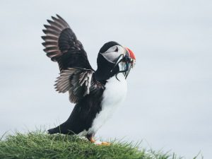 Puffin - Mykines